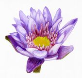 Hand-drawn lotus flower. Bright pencilled lilac lotus flower Stock Image