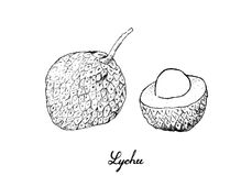 Hand Drawn of Lychee Fruits on White Background. Fresh Fruits, Illustration of Hand Drawn Sketch Fresh Lychee or Litchi Chinensis Fruits Isolated on White Royalty Free Stock Photo