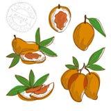 Hand drawn mango fruits Stock Images