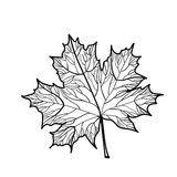 Hand drawn maple leaf isolated Stock Photography