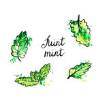 Hand drawn mint leaves Royalty Free Stock Image