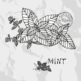Hand drawn mint Stock Images