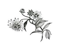 Hand drawn monochrome flowers isolated on white background. Hand drawn monochrome flowers isolated on white background Royalty Free Stock Photo