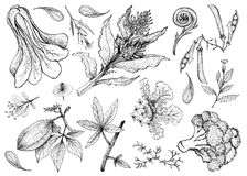 Free Hand Drawn Of Leafy And Salad Vegetable Royalty Free Stock Images - 103293939