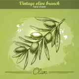 Hand drawn olive branch Stock Photography