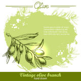 Hand drawn olive branch Stock Images