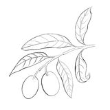 Hand drawn olive branch. Stock Photos