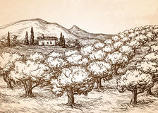 Hand drawn olive grove landscape. Stock Photos