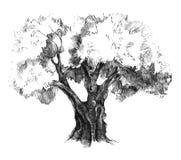 Hand drawn olive tree Stock Photo