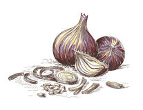 Hand drawn onion Stock Photography