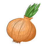 Hand drawn onion Royalty Free Stock Photos