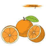 Hand drawn oranges with leaves. Hand drawn oranges with leaves on white background. Vector illustration royalty free illustration