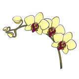 Hand drawn orchid branch - phalaenopsis Stock Image
