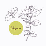 Hand drawn oregano branch Stock Images
