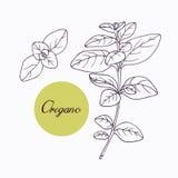 Hand drawn oregano branch Stock Images