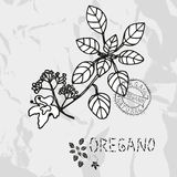 Hand drawn oregano Royalty Free Stock Image