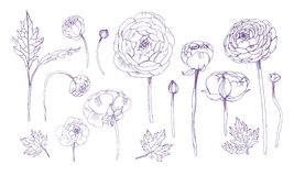 Hand drawn outline floral elements set. Collection with ranunculus flowers. Stock Image