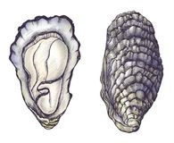 Free Hand Drawn Oyster Salt-water Bivalve Stock Images - 113843754