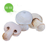 Hand drawn and painted watercolor mushrooms. Champignons isolated on white background. Stock Images
