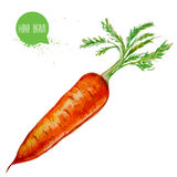 Hand drawn and painted watercolor ripe carrot with leafs. Root isolated on white background. Royalty Free Stock Image