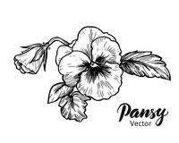 Hand drawn pansy flowers Stock Photography