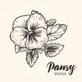 Hand drawn pansy flowers Stock Photo
