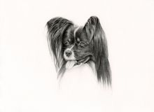 Hand Drawn Papillon Dog Royalty Free Stock Photos
