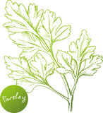 Hand drawn parsley branch Stock Photo