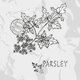 Hand drawn parsley Royalty Free Stock Photography