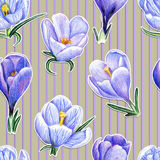Hand-drawn pattern with crocuses on striped background. Beautiful penciled pattern with crocuses on striped background Stock Photo