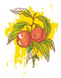 Hand drawn peaches Stock Photos