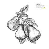 Hand drawn pear branch. Vector engraved illustration. Juicy natural fruit. Food healthy ingredient. For cooking. Cosmetic package design, medicinal herb royalty free illustration