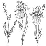 Iris flowers. Hand drawn pen and ink iris flowers botanical illustration. Colors can be changed easily. Flowers are separate groups Stock Photography