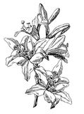Lily. Hand drawn pen and ink Lily botanical illustration. Colors can be changed easily. Flowers are separate groups Royalty Free Stock Photos