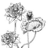 Lotus, Water Lily. Hand drawn pen and ink lotus botanical illustration. Colors can be changed easily. Flowers are separate groups Royalty Free Stock Image