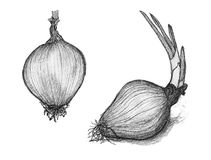Hand drawn penciling of onion Stock Photos