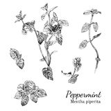 Hand drawn peppernint ink sketch set. Isolated plants Royalty Free Stock Images