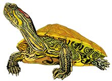 Hand-drawn pet Trachemys scripta elegans turtle. Hand-drawn pet red-eared slider turtle illustration- hand made clipping path included Stock Images