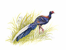 Hand drawn pheasant in the grass and flowers, isolated on white background Stock Photos