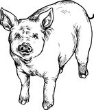 Hand drawn pig Stock Images