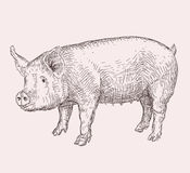 Hand drawn pig Stock Photo