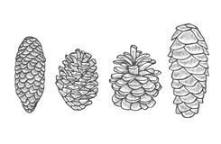 Pine cone set. Hand drawn Pine cone set. Botanical hand drawn vector illustration. Isolated xmas pinecones. Engraved collection. Great for greeting cards Royalty Free Stock Images