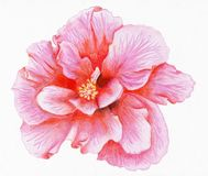 Hand-drawn pink hibiscus. Pencilled flower of pink hibiscus Royalty Free Stock Images