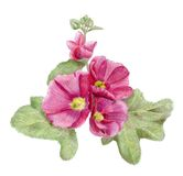 Hand-drawn pink mallow flowers. Pencilled hollyhock flowers with leaves Stock Image