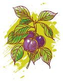 Hand drawn plums Stock Image