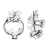 Hand drawn pomegranate. And bunch with flowers Royalty Free Stock Photography