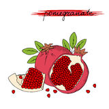 Hand drawn pomegranate with leaves isolated on white background. Vector illustration vector illustration