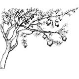 Hand drawn pomegranate tree. Hand drawn black and white pomegranate tree Royalty Free Stock Photo