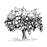 Hand drawn pomegranate tree. On white background Stock Photography
