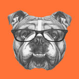 Hand drawn portrait of English Bulldog with glasses. Vector  elements Stock Photo